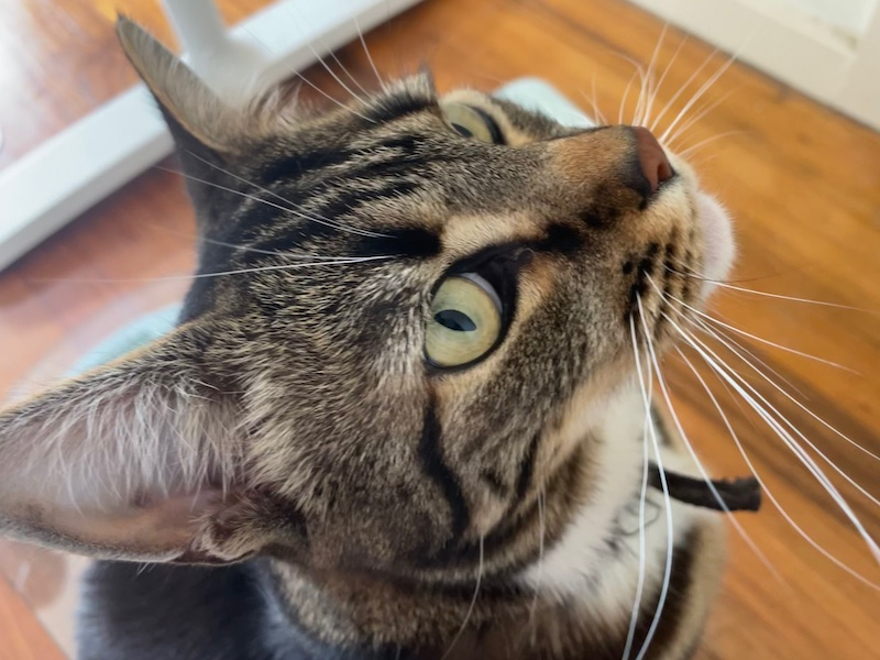 close-up of a tabby cat's face, looking up impatiently at the photo-taker