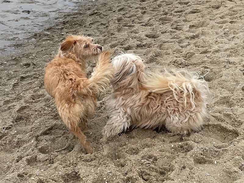 two small dogs, one white and one tan, start chasing each other