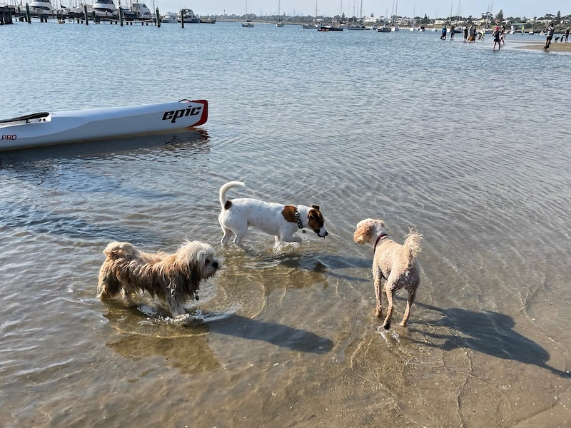 three small dogs meet and sniff each other in the water